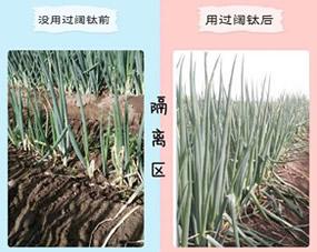 哈密二堡镇六大队,大葱冲施肥使用阔钛高氮水溶肥,对比效果图:原来稀疏矮小的大葱,7天后大葱长势十分旺盛