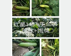 红星1场,于兰英种植的西葫芦,全程使用饱健叶面肥和阔钛冲施肥,长得又直又均匀,西葫芦好看产量高,于大姐特别满意