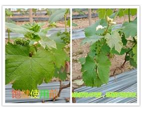 饱健水溶肥使用4天后,新稍开始生长,生长点开始弯曲,饱健水溶肥刺激生长点并加速植物生长