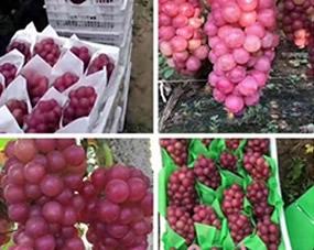 河南鲁山贯 刘雪飞的巨峰葡萄,全程冲施阔钛,葡萄上色快,大小均匀,相比其他肥料葡萄提早成熟一周