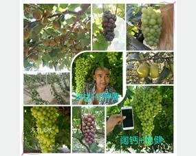 阔钛冲施肥在葡萄、梨、猕猴桃等果树上的效果非常好