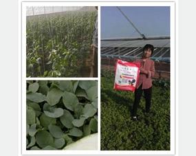 阔钛水溶肥在芹菜、菠菜、辣椒上的使用效果图,蔬菜长得特别好,阔钛得到了种植大户的一致认可!
