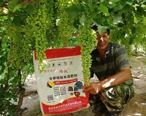 葡萄多,长得好,阔钛水溶肥使用后客户非常满意