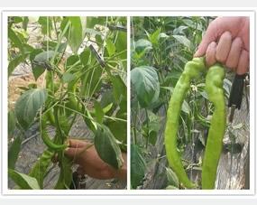 青椒大棚全程使用阔钛水溶肥和钙钾菌冲施肥,青椒植株健壮,病虫害减少,增产增量,颜色漂亮