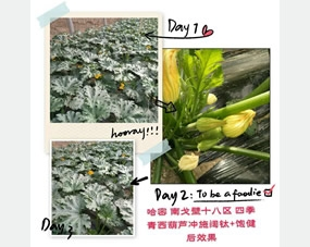 四季青西葫芦冲施阔钛水溶肥、喷打饱健叶面肥后西葫芦长势特别旺盛,开花坐果多,效果很漂亮
