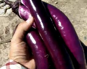 使用阔钛水溶肥冲施的茄子,茄子长十分漂亮,又紫又亮