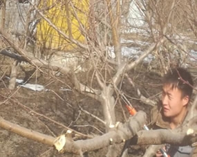 果树专家亲自上阵修剪示范