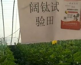 山东东吕庄客户黄瓜上冲施阔钛6天后的效果表现和对比
